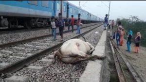 Holmbi Railway track Delhi Cows Accident